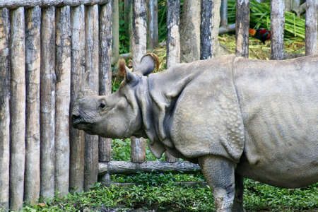 asiatic: Asiatic rhinoceros, Thailand  Stock Photo