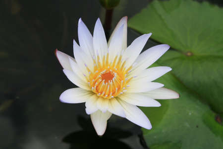 Yellow lotus in lake