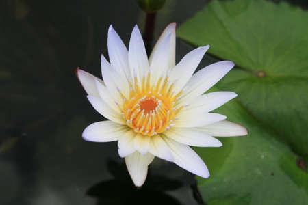 nymphaea: Yellow lotus in lake