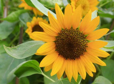 sunflower, Thailand  photo