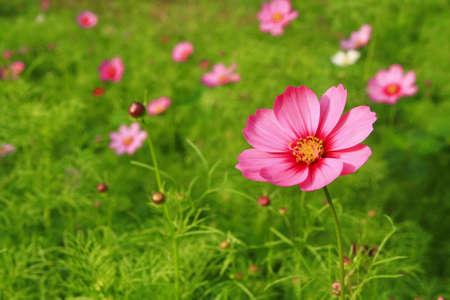 cosmos flowers: pink cosmos flower in yard