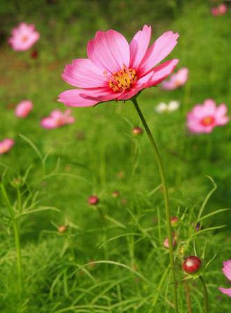 cosmos flowers: Pink flower in garden