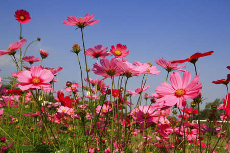 cosmos flowers: Cosmos pink flower in garden with blue sky Stock Photo