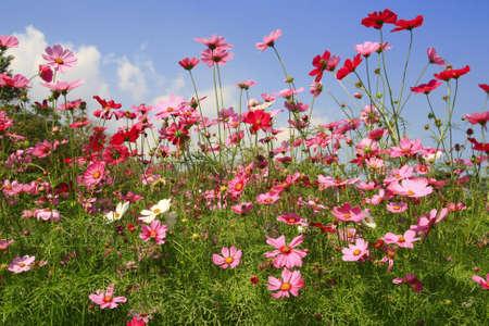 Cosmos pink flower in garden  photo