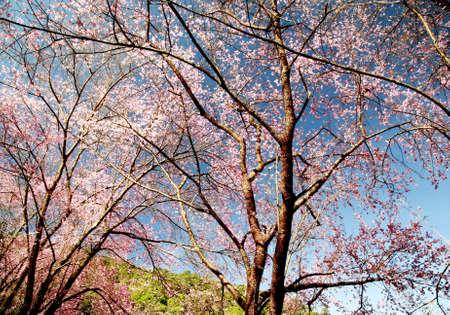 sakura arbol: �rbol de Sakura Foto de archivo