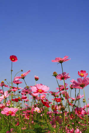 Cosmos pink flower in garden with blue sky photo