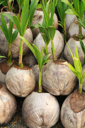 coconut seedlings: Sprout of coconut tree