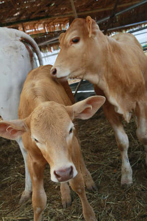 brahman: two brown calf