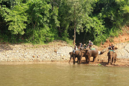 Thai elephants drink river water in forest with tourist riding,Chiangmai Thailand