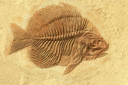 fossil: Fish fossil  Stock Photo