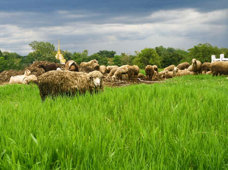dirty sheep in grass field  photo