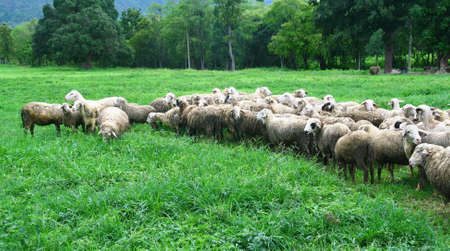 many sheep in green farmland  photo