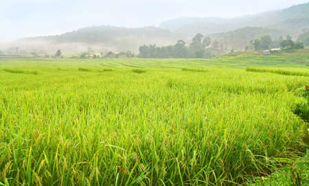 terraced paddy field in Chiang Mai, Thailand  photo