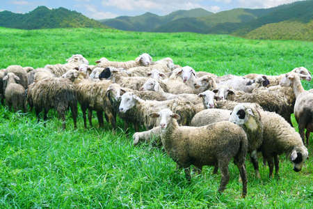 many sheep in grass field  photo