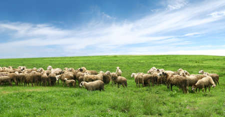 sheep in pasture and blue sky  Stock Photo