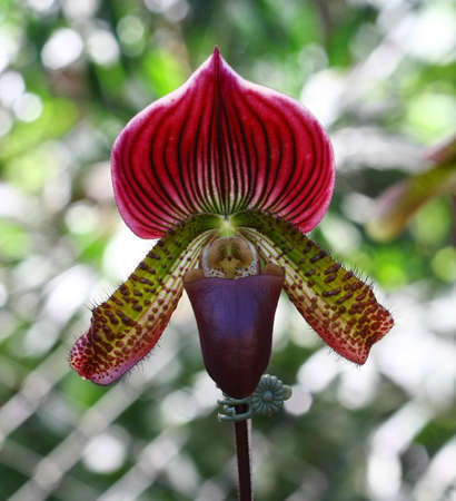 close up Lady Slipper Orchid Paphiopedilum  photo