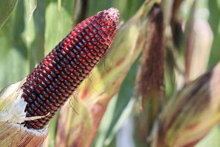 waxy: macro purple corn in garden