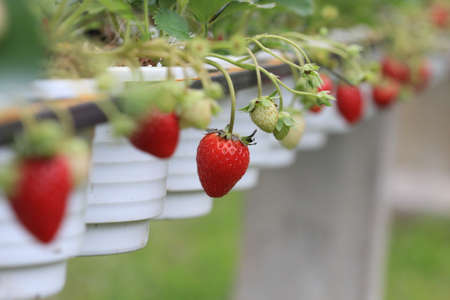 close up red strawberry in garden