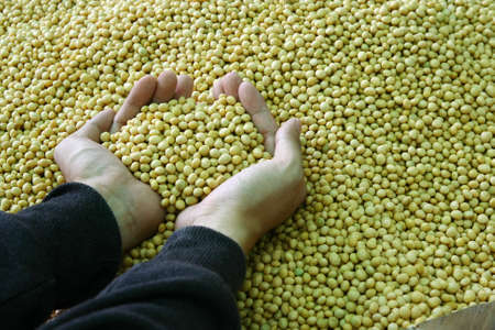protien: two hand hold soybean in tank
