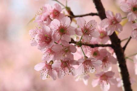 close up detail  pink sakura  photo