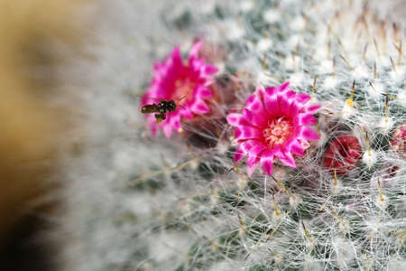 close up cactus with pink flowers photo