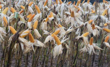 protien: close up corn garden in garden Stock Photo