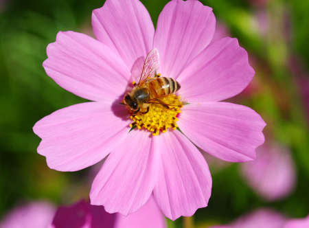 macro bee pollinated on deep purple cosmos flower photo