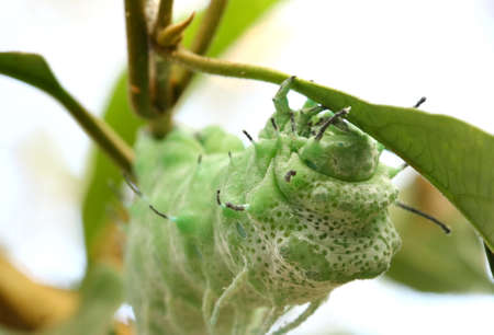 close up butterfly worm eating leave photo