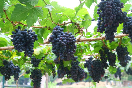 grape field: black grape in garden, wine grape field