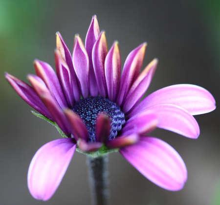 macro bee pollinated on deep purple cosmos flower photo