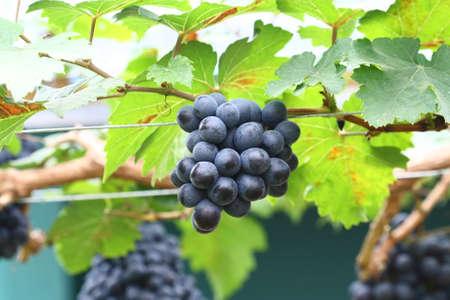 grape field: black grape in garden, wine grape field