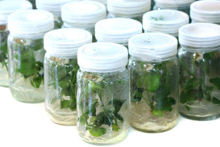 close up Plant tissue culture in lab