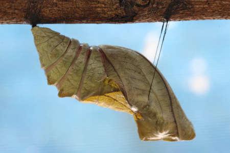 beautiful Monarch chrysalis on tree , butterfly, background photo
