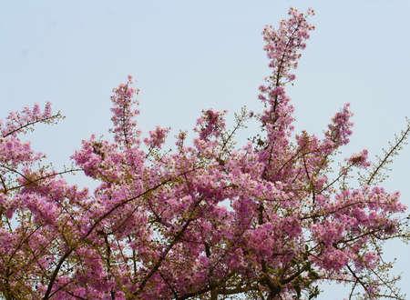 close up pink purple blossom flower, Thailand photo