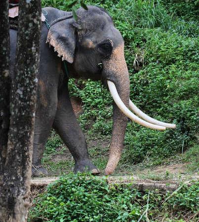 big ass: close up Thai elephant on field Stock Photo