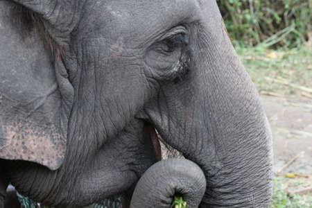 grosse fesse: fermer �l�phant tha�landais sur le terrain Banque d'images