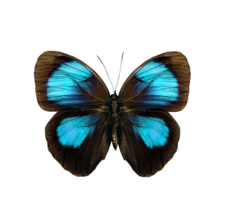 black and blue butterfly flying: colorful butterfly isolated on white background