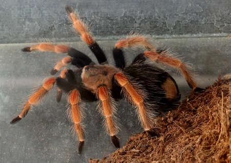 arachnophobia animal bite: tarentualla spider