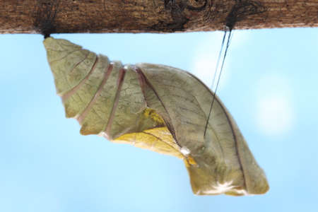 life change: beautiful Monarch chrysalis on tree , butterfly, background Stock Photo