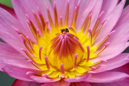 beautiful pink waterlily or lotus flower in pond, Thailand photo