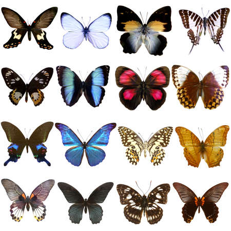mariposa: Collection of beautiful tropical butterflies isolated on white background