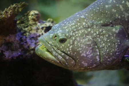 lanceolatus: closeup grouper fish