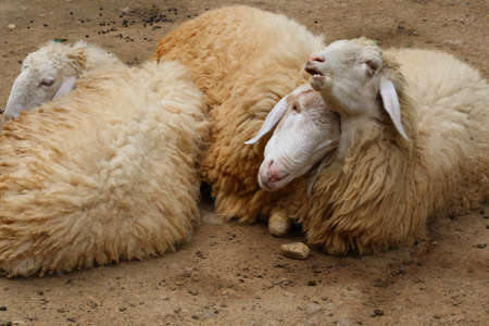 sheep wool: brown sheep, wool