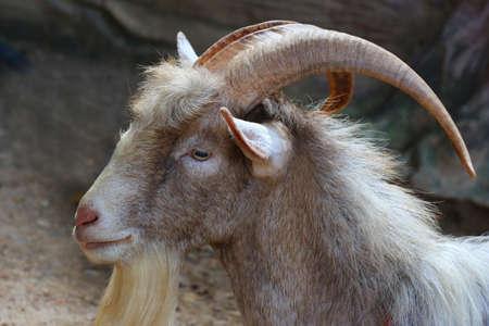long horn goat, nature wildlife