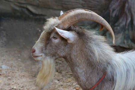 negev: long horn goat, nature wildlife
