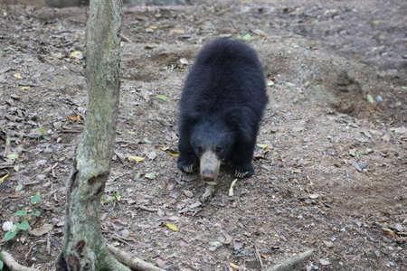 oso perezoso: oso perezoso en el bosque