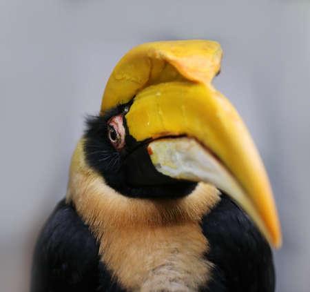 closeup of rare hornbill, Thailand