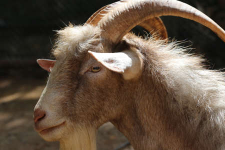 billygoat: long horn goat, nature wildlife