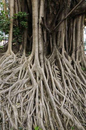 centenarian: banyan root, big tree root