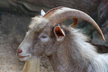 goat head: long horn goat, nature wildlife